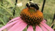 Bee on Coneflower.